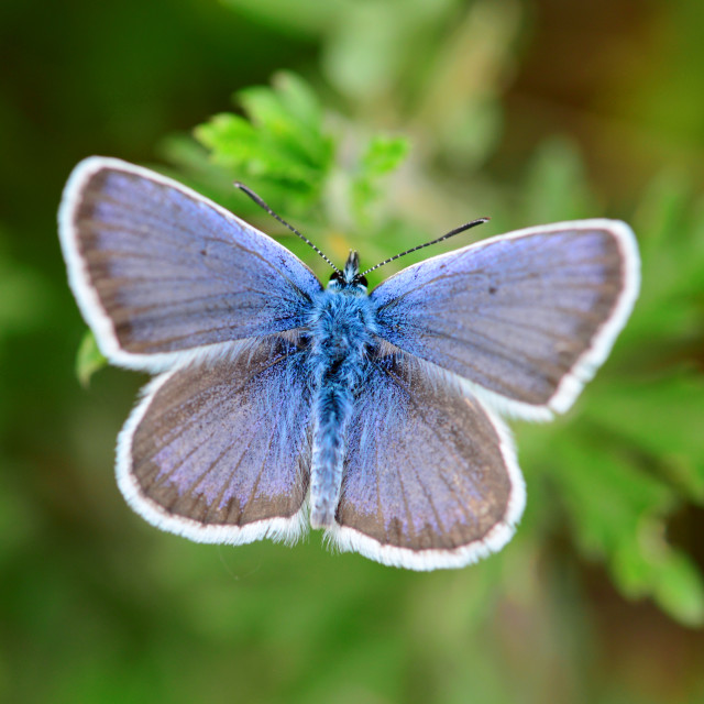 """""""blue butterfly close detail"""" stock image"""