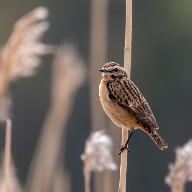 """""""Whinchat"""" stock image"""