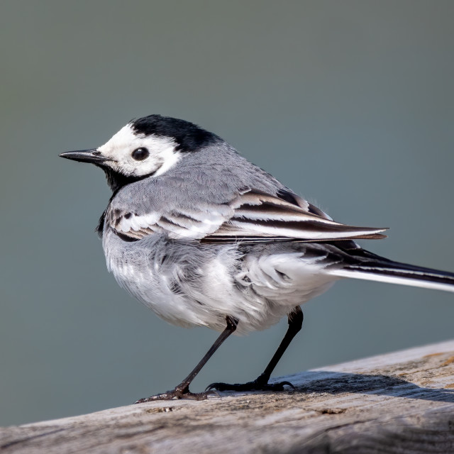 """""""White wagtail"""" stock image"""