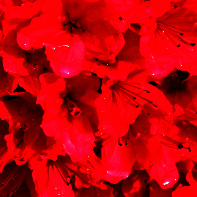 """Abstract - Red flowers after rain"" stock image"