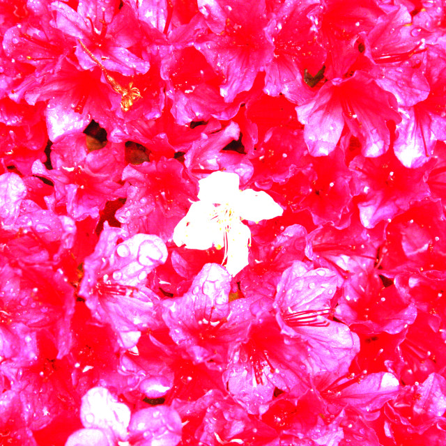 """""""Abstract - A white flower amongst the red flowers"""" stock image"""