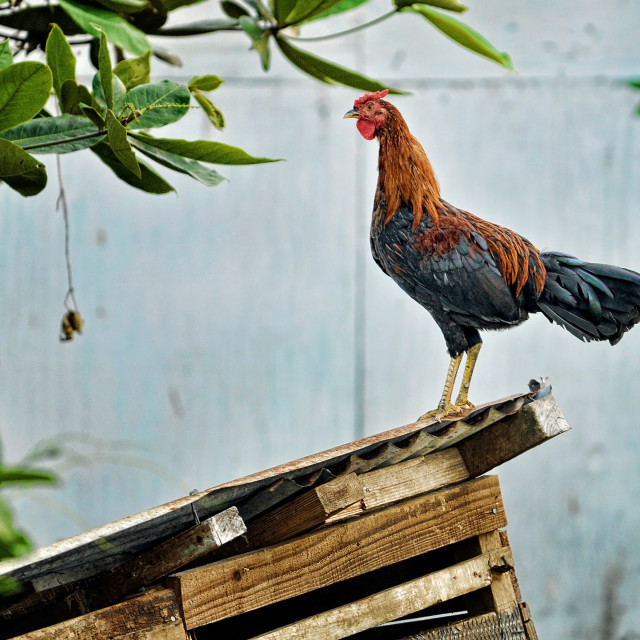 """The Caribbean Rooster"" stock image"