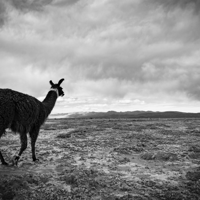 """The nomadic life of a Llama"" stock image"
