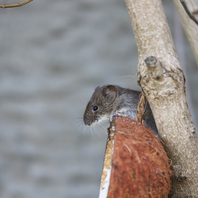 """""""Bank Vole Clethrionomys glareolus Feeding on a Coconut Shell Typ"""" stock image"""