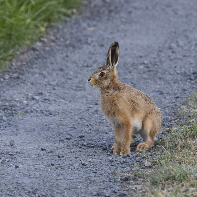 """""""Young Brown Hare (Lepus capensis), UK"""" stock image"""