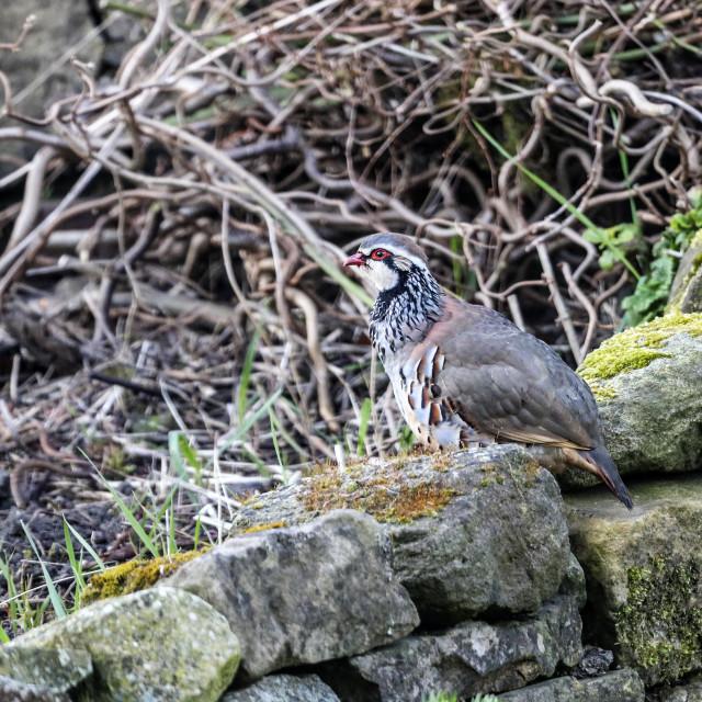 """Red-legged Partridge (Alectoris rufa) Northern England"" stock image"