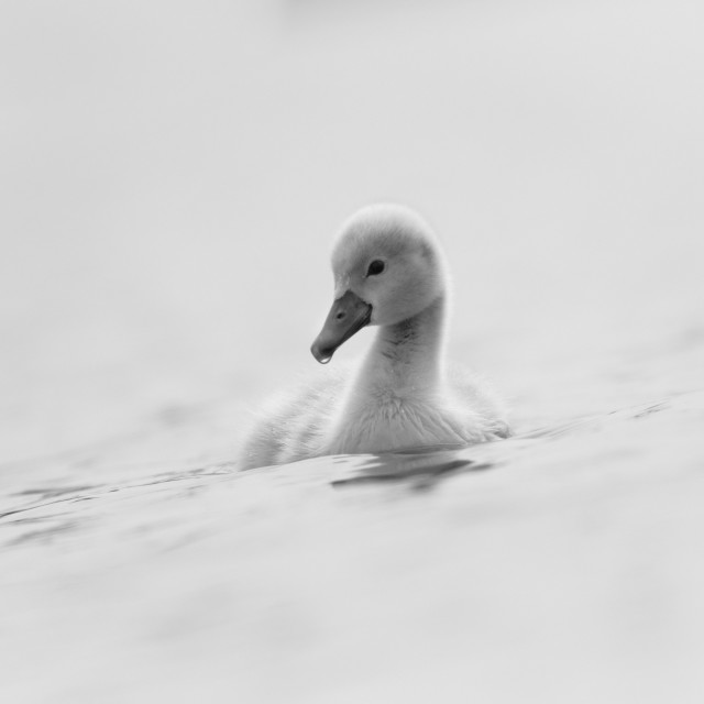 """Cygnet (1) (Landscape Version)"" stock image"