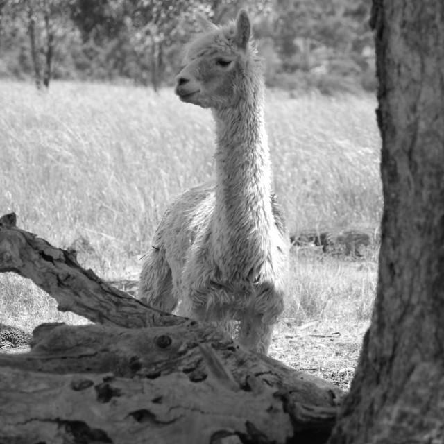 """Scruff the alpaca"" stock image"