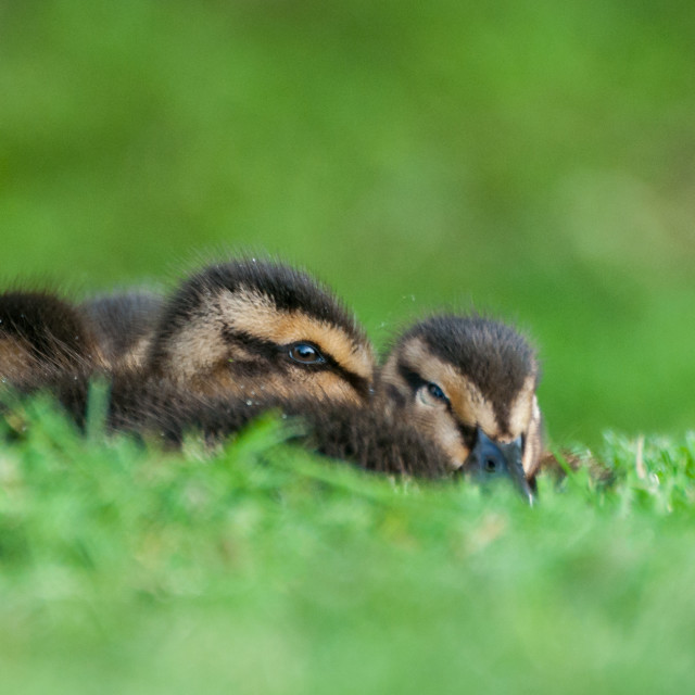 """Mallard Ducklings hiding on a lawn"" stock image"