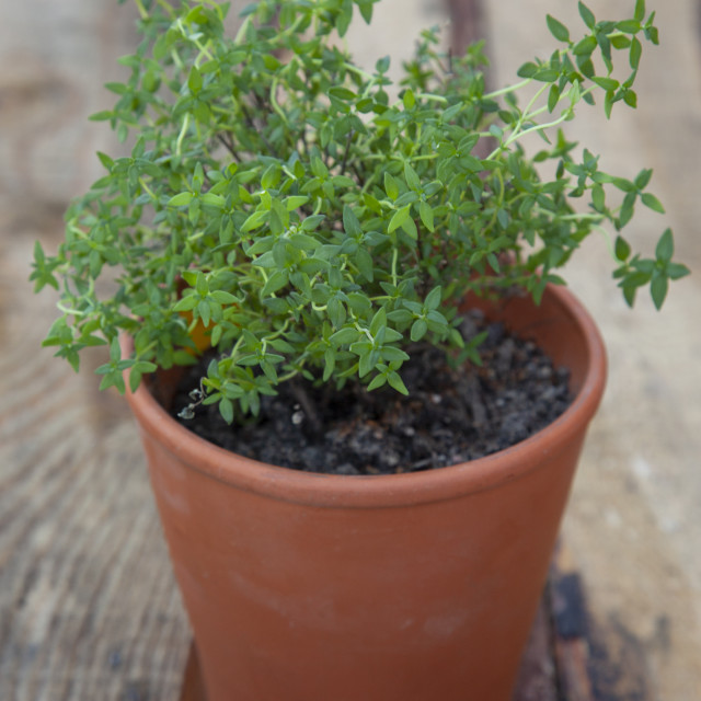 """""""Homegrown thyme in a terracotta pot"""" stock image"""