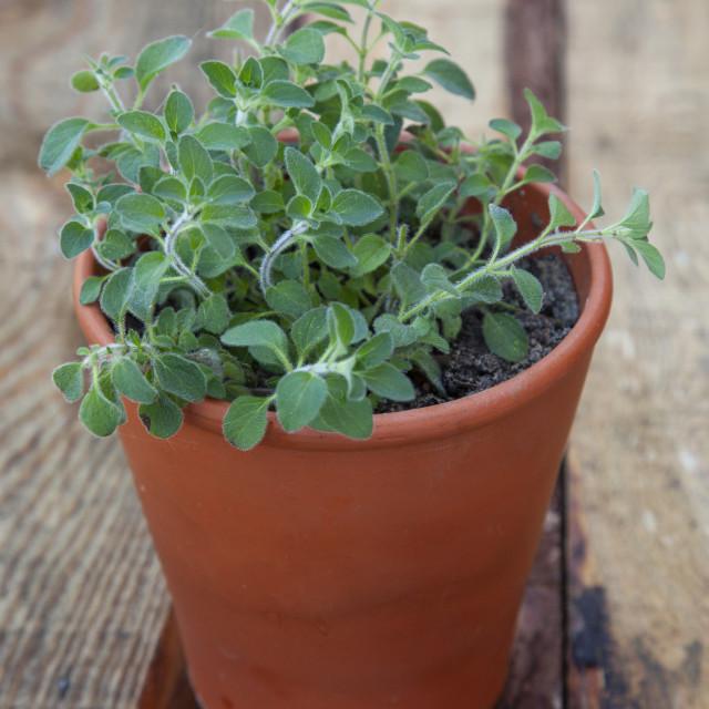 """""""Oregano in a terracotta pot"""" stock image"""