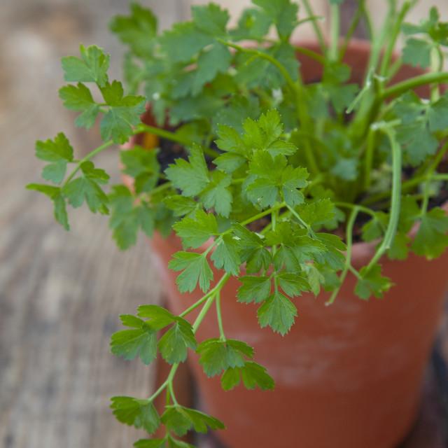 """Italian flat leaf parsley in a terra cotta pot"" stock image"