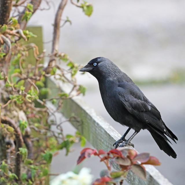 """""""Jackdaw (Corvus monedula) Perched on a Garden Fence, England, UK"""" stock image"""