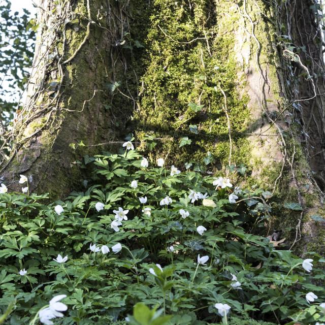 """Wood Anenome Anemone Nemorosa Growing Around a Tree, Teesdale, C"" stock image"