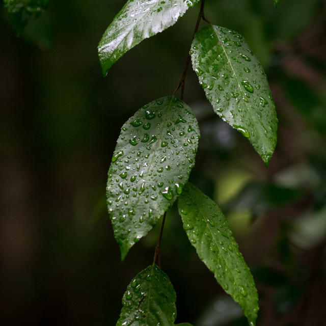 """Nature - multiple green Leaves with water drops"" stock image"
