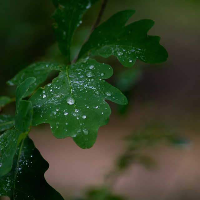 """Nature - a single oak leaf with water drops"" stock image"