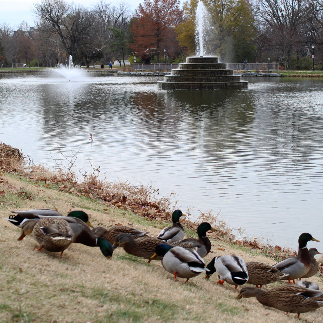 """ducks at the park"" stock image"