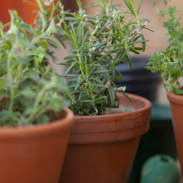 """""""A close up on a rosemary plant"""" stock image"""