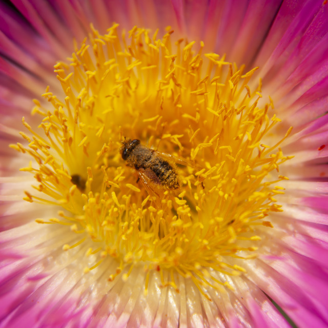 """""""A bee working in a flower"""" stock image"""