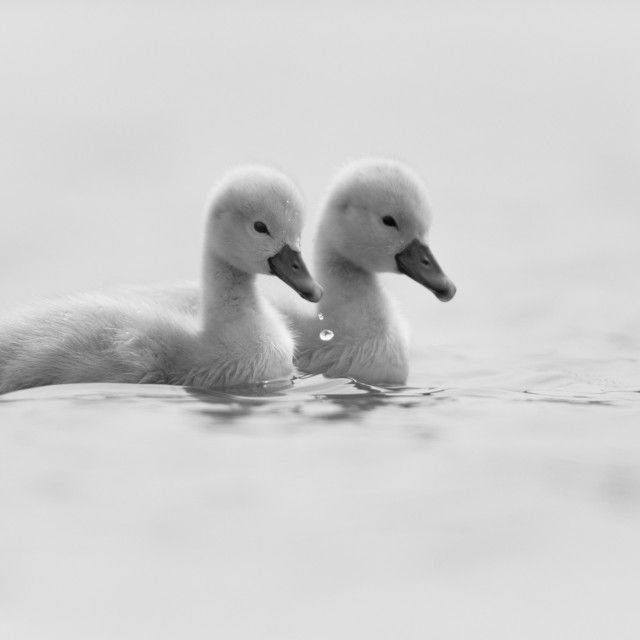 """Cygnet Twins"" stock image"