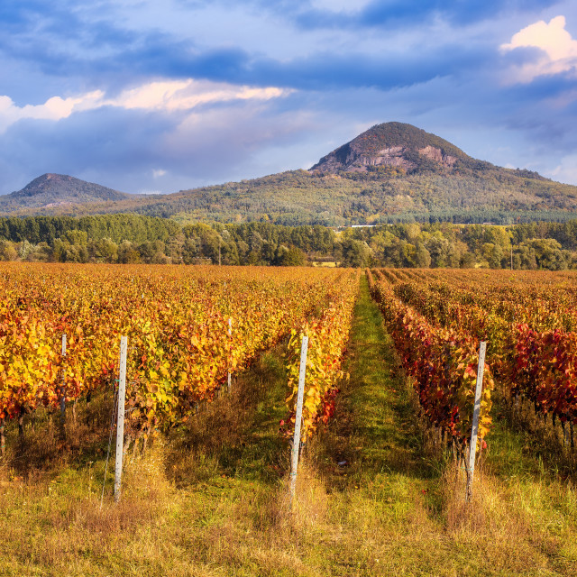 """""""Beautiful rows of grapes in autumn time"""" stock image"""