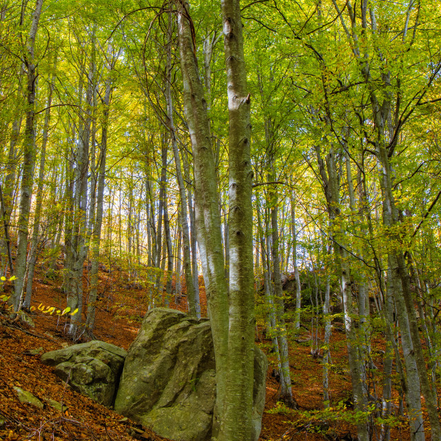 """""""Nice beech forest in autumn in Spain, mountain Montseny"""" stock image"""