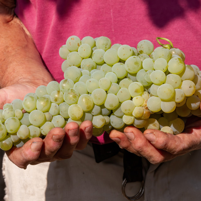 """""""Big delicious grapevine on the hands of farmer"""" stock image"""