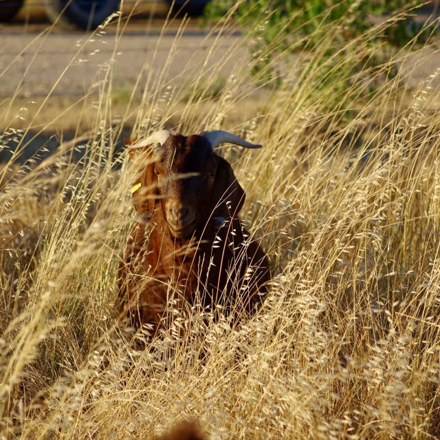 """""""Goat camouflage"""" stock image"""