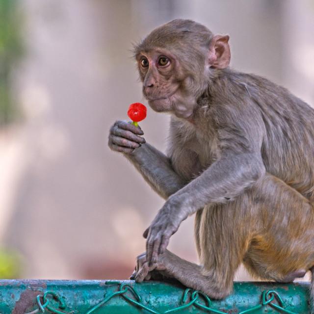 """The Lollipop"" stock image"