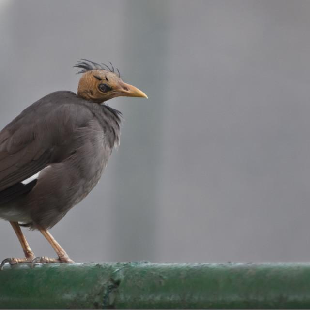 """""""The Bald Bird"""" stock image"""