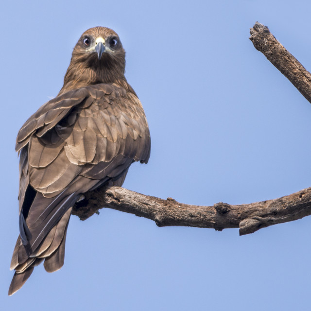 """""""The Indian Spotted Eagle (Aquila hastata)"""" stock image"""