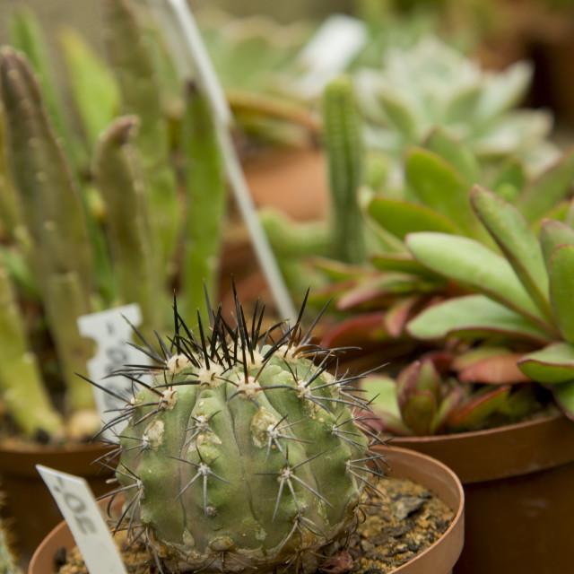 """""""Cacti Nursery"""" stock image"""