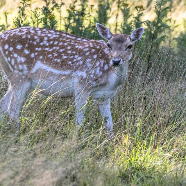 """""""Fallow Deer - summer evening"""" stock image"""
