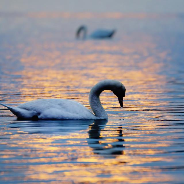 """Swan sunset"" stock image"