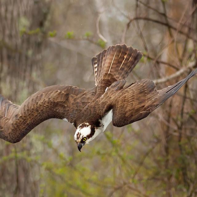 """Osprey dive"" stock image"