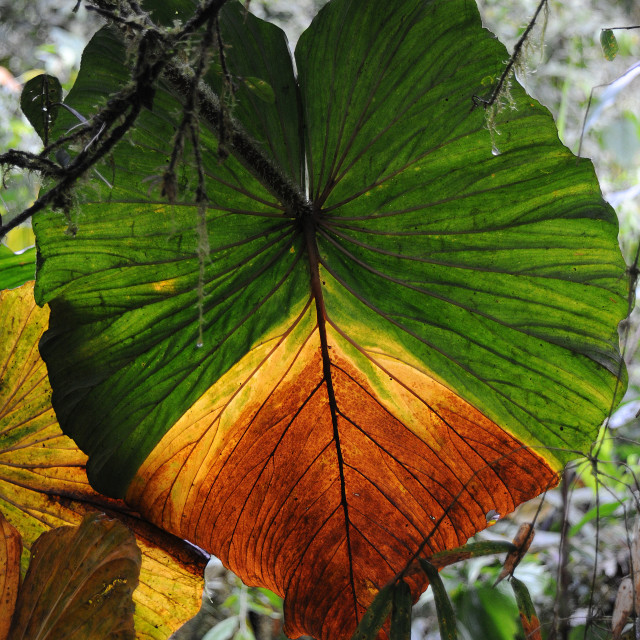 """Leaf detail, Cloud forest"" stock image"