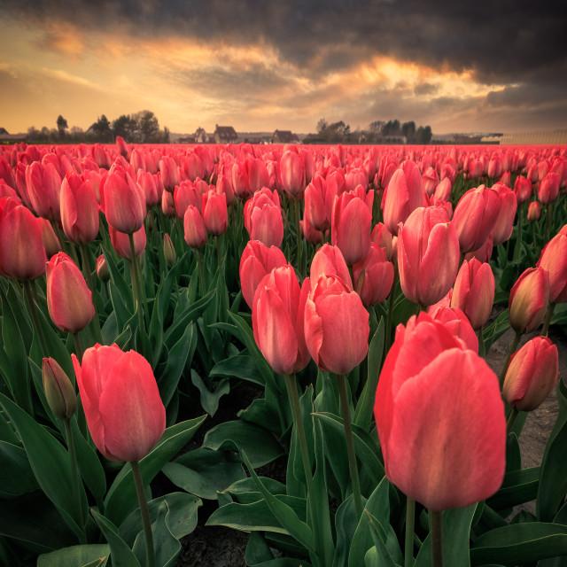 """Tulip fields at sunset. Keukenhof, Lisse, Holland"" stock image"