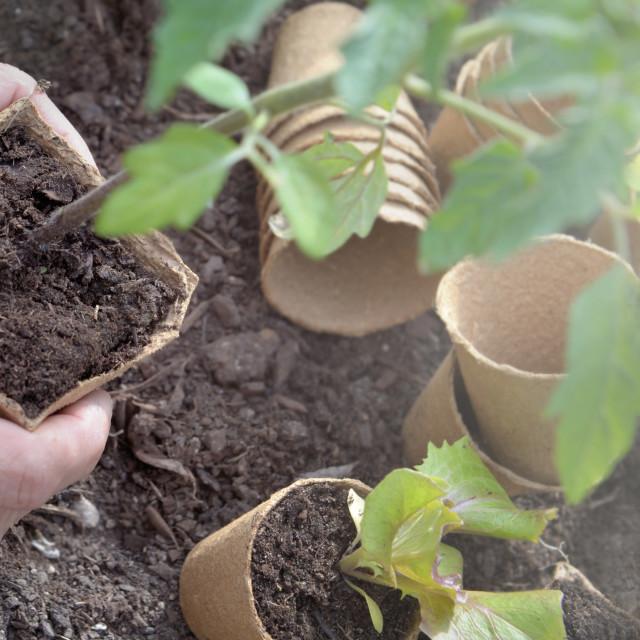 """""""hands of gardener hanging seedling of vegetable to plant in garden"""" stock image"""