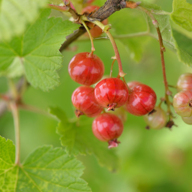 """""""closeup on bunch of red currant growing on green background"""" stock image"""