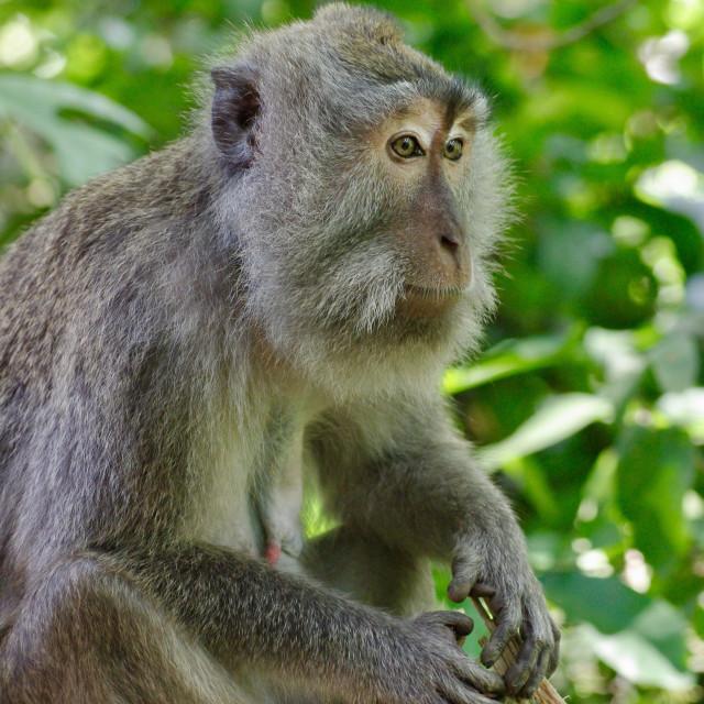 """""""Wise Monkey"""" stock image"""