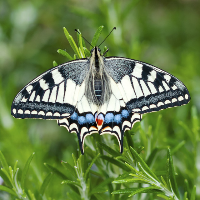 """A beautiful Swallowtail Butterfly"" stock image"