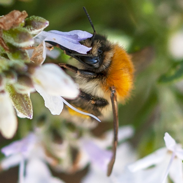 """""""Bee - close up"""" stock image"""