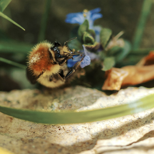 """""""Common carder bee (I think)"""" stock image"""