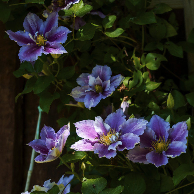 """Shaded Clematis"" stock image"
