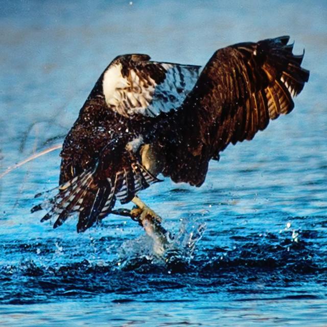 """Osprey Take off after a catch."" stock image"