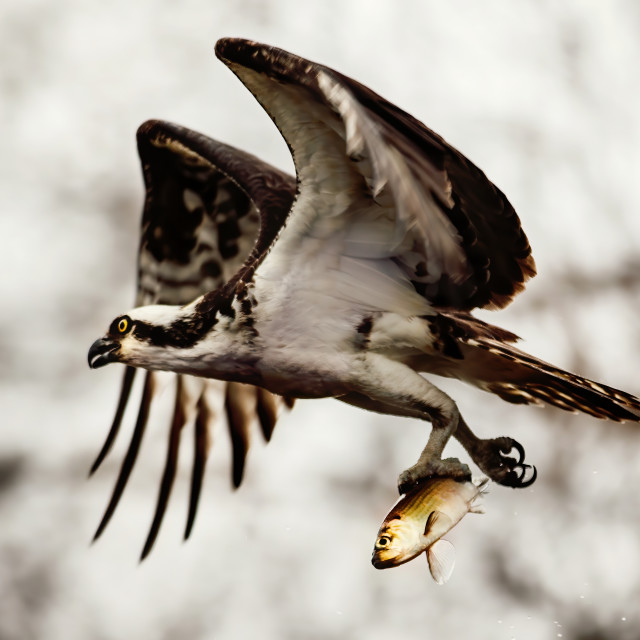 """""""Osprey catching a fish"""" stock image"""