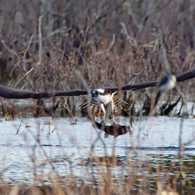"""""""Osprey with a catfish"""" stock image"""