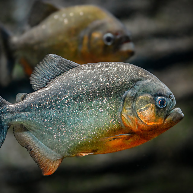 """Red Belly Piranha"" stock image"