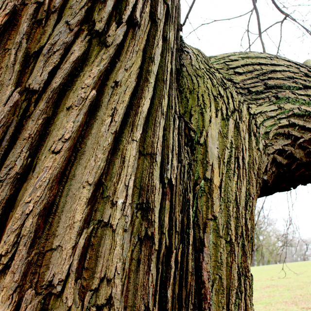 """""""The bark of a tree in the grounds of Kedleston Hall, Derbyshire"""" stock image"""