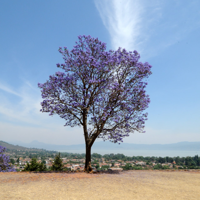 """Tree on Tzintzuntzan archaeological site. Michoacan"" stock image"